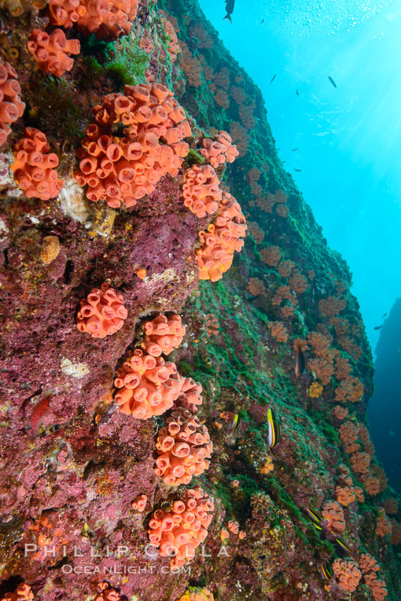 Orange cup coral, retracted during daylight, Sea of Cortez. Isla Las Animas, Baja California, Mexico, Tubastrea coccinea, natural history stock photograph, photo id 33671