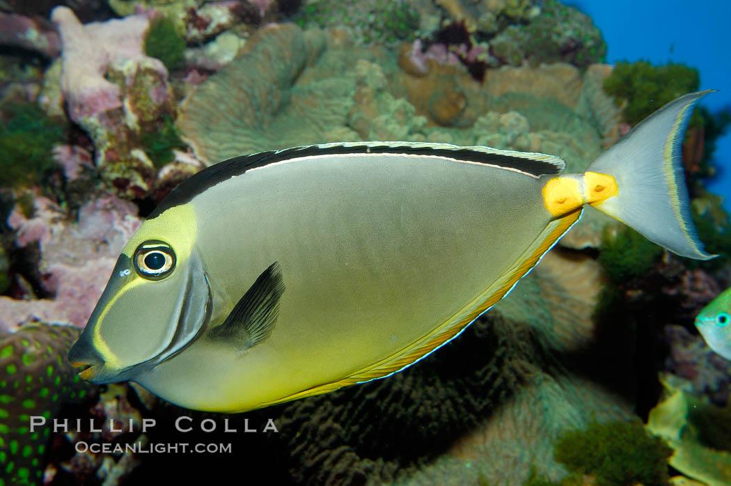 Orangespine unicornfish., Naso lituratus, natural history stock photograph, photo id 10296