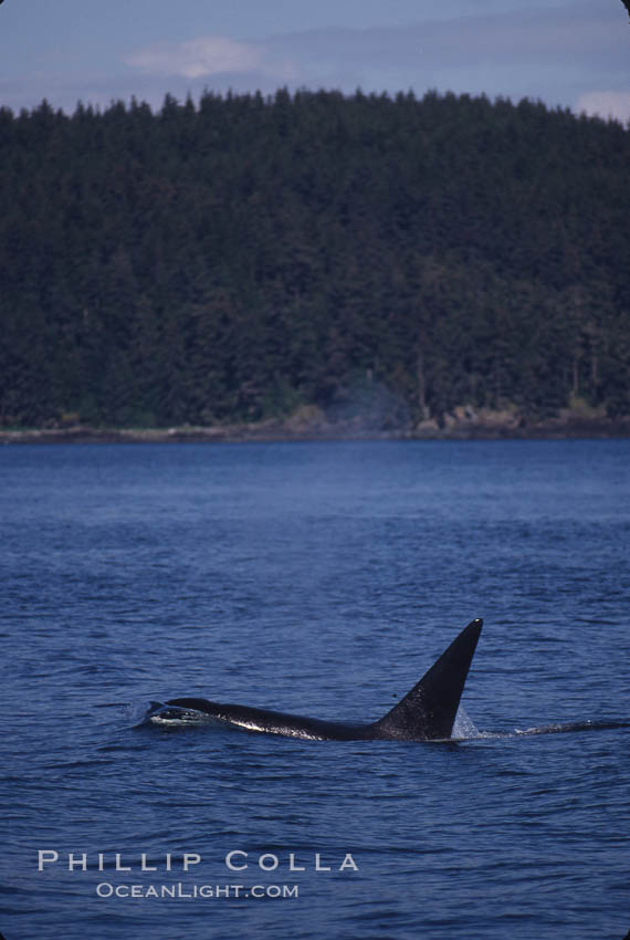 Killer whale (orca). Frederick Sound, Alaska, USA, Orcinus orca, natural history stock photograph, photo id 04409