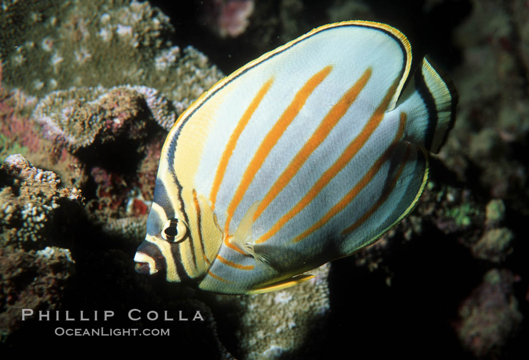 Ornate butterflyfish. Maui, Hawaii, USA, Chaetodon ornatissimus, natural history stock photograph, photo id 05192