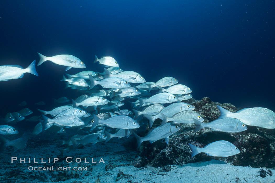 Image 05101, Grunts (peruvian, gray or Galapagos). Galapagos Islands, Ecuador, Orthopristis sp.