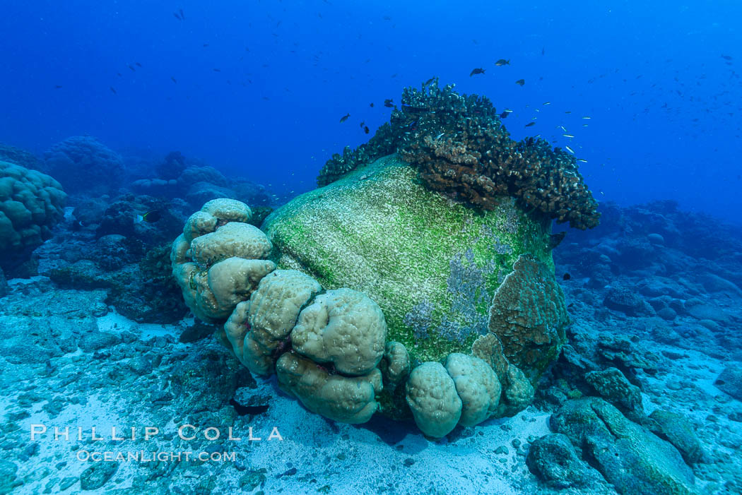 Enormous Porites lobata coral head, overturned by storm surge, Clipperton Island. France, Porites lobata, natural history stock photograph, photo id 32967