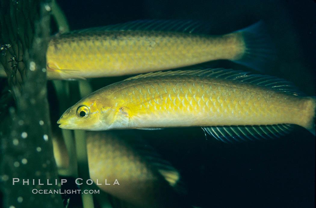 Senorita. Catalina Island, California, USA, Oxyjulis californica, natural history stock photograph, photo id 05171