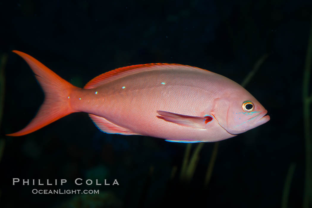 Pacific creolefish., Paranthias colonus, natural history stock photograph, photo id 27210