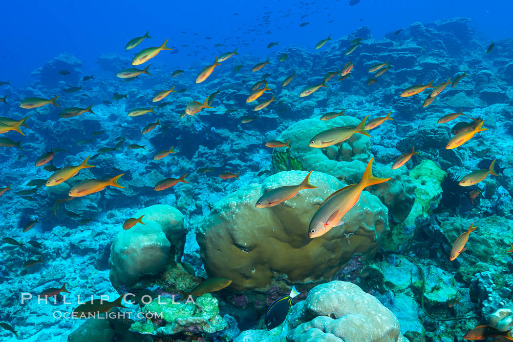 Pacific creolefish over coral reef, Clipperton Island. Clipperton Island, France, natural history stock photograph, photo id 32993
