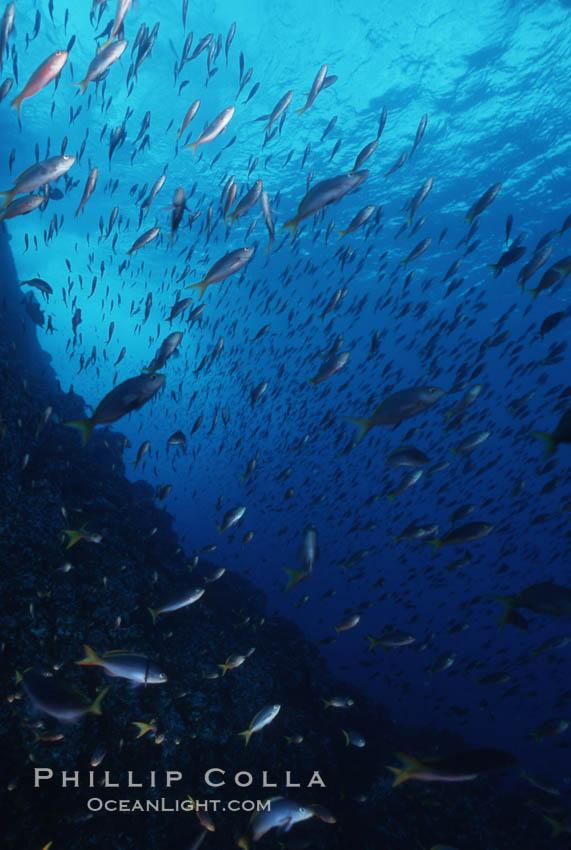 Schooling Pacific Creolefish, Sea of Cortez near La Paz., Paranthias colonus, natural history stock photograph, photo id 07106
