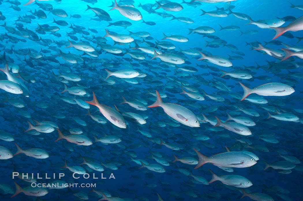 Pacific creolefish form immense schools and are a source of food for predatory fishes. Darwin Island, Galapagos Islands, Ecuador, Paranthias colonus, natural history stock photograph, photo id 16434