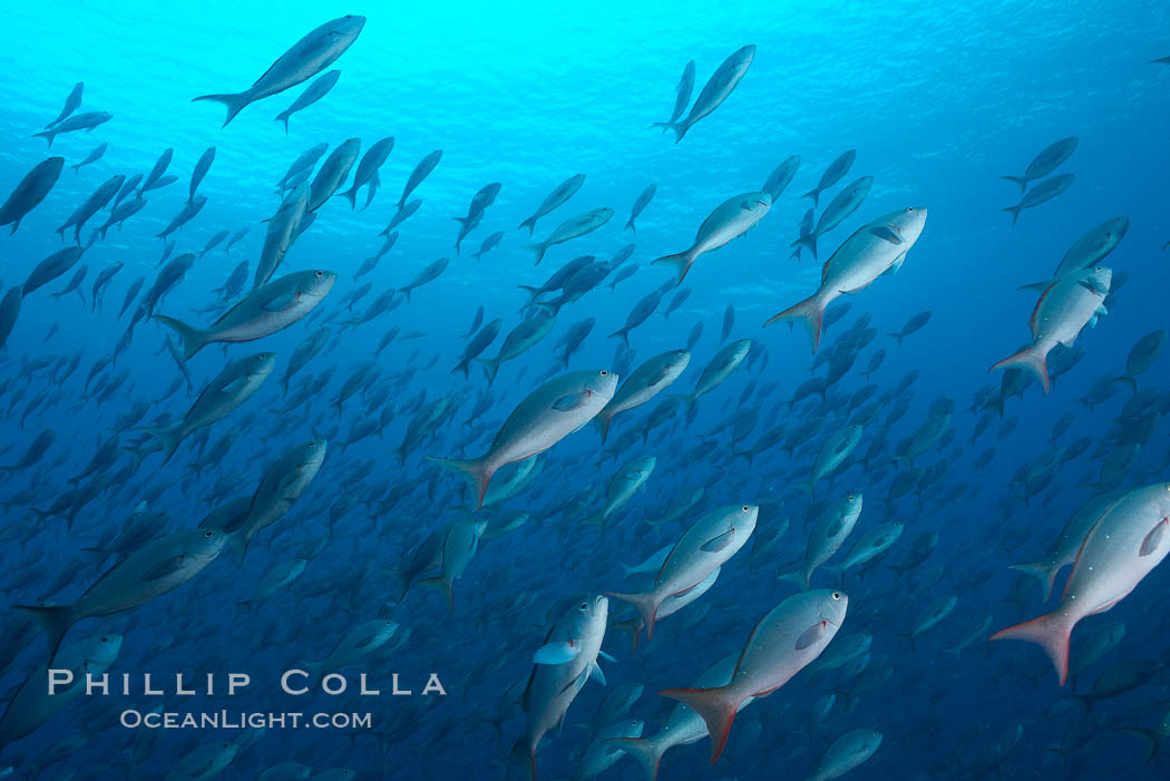 Pacific creolefish form immense schools and are a source of food for predatory fishes. Darwin Island, Galapagos Islands, Ecuador, Paranthias colonus, natural history stock photograph, photo id 16440