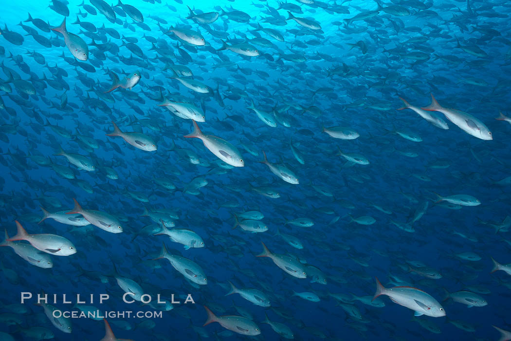 Pacific creolefish form immense schools and are a source of food for predatory fishes. Darwin Island, Galapagos Islands, Ecuador, Paranthias colonus, natural history stock photograph, photo id 16437