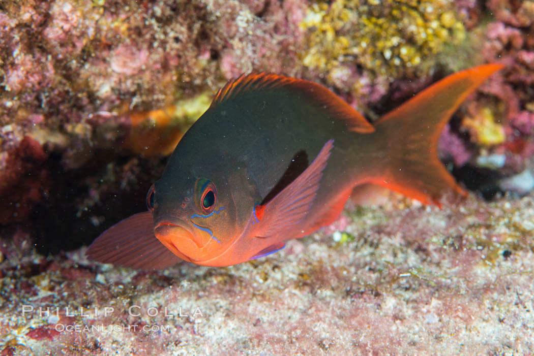 Pacific creolefish, Paranthias colonus, Sea of Cortez. Isla San Diego, Baja California, Mexico, natural history stock photograph, photo id 33531
