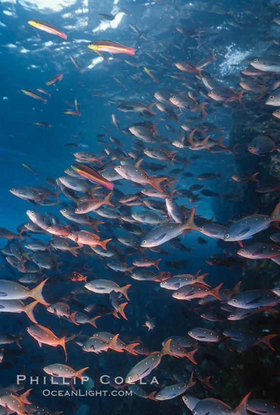 Pacific creolefish. Cousins, Galapagos Islands, Ecuador, Paranthias colonus, natural history stock photograph, photo id 05107