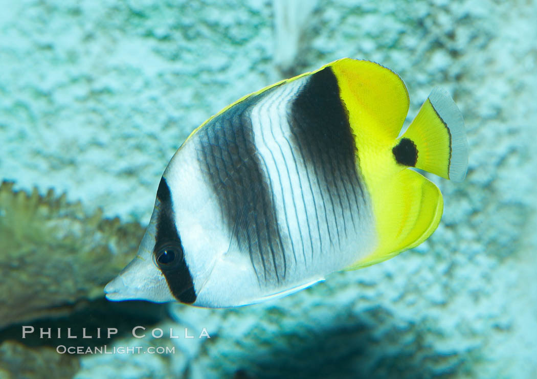 Pacific double-saddle butterflyfish., Chaetodon ulietensis, natural history stock photograph, photo id 11816