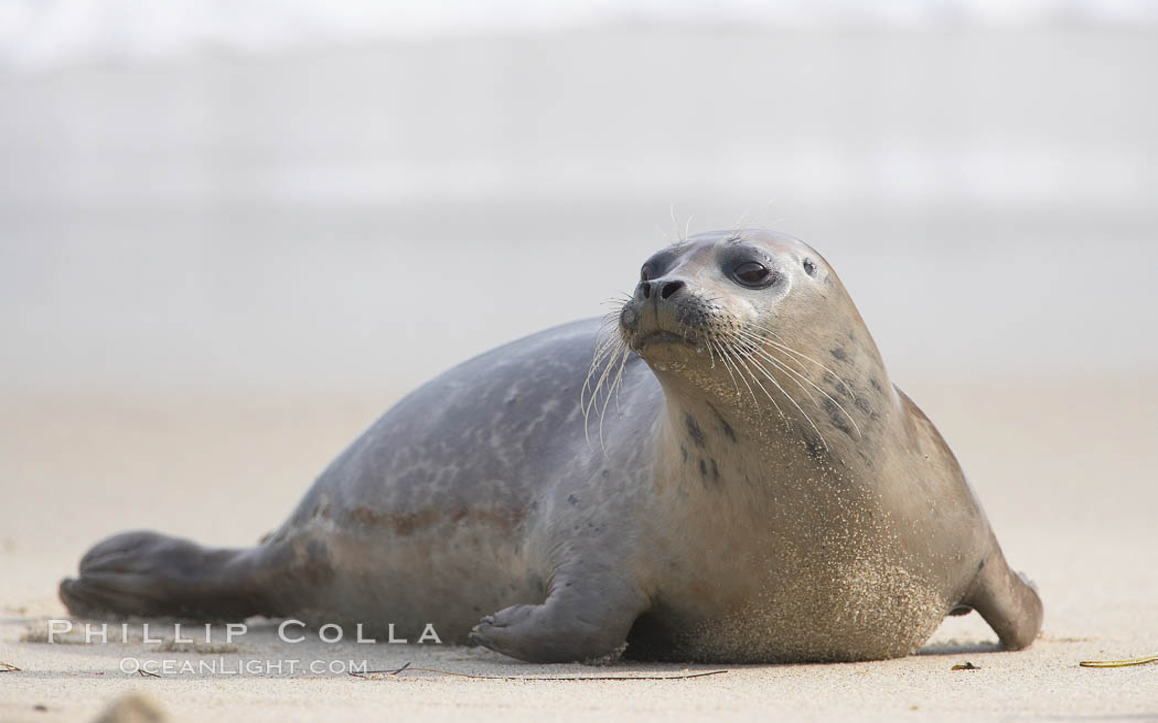 Image 15766, Pacific harbor seal. La Jolla, California, USA, Phoca vitulina richardsi, Phillip Colla, all rights reserved worldwide. Keywords: animal, animalia, california, caniformia, carnivora, carnivore, chordata, creature, harbor seal, la jolla, la jolla seal controversy, la jolla seals childrens pool, mammal, mammalia, marine mammal, nature, ocean, pacific harbor seal, phoca, phoca vitulina richardsi, phocid, phocidae, pinniped, pinnipedia, richardii, richardsi, san diego, seal, usa, vertebrata, vertebrate, vitulina, wildlife.
