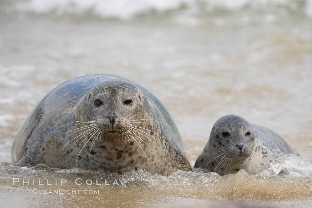 Pacific harbor seal, mother and pup. La Jolla, California, USA, Phoca vitulina richardsi, natural history stock photograph, photo id 15752