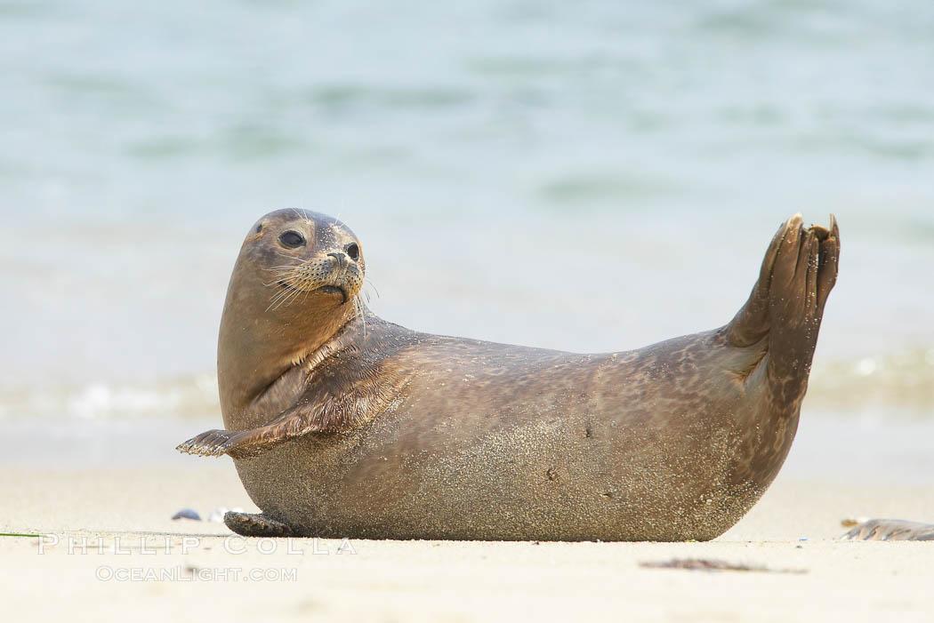 Pacific harbor seal stretches on a sandy beach. La Jolla, California, USA, Phoca vitulina richardsi, natural history stock photograph, photo id 20445