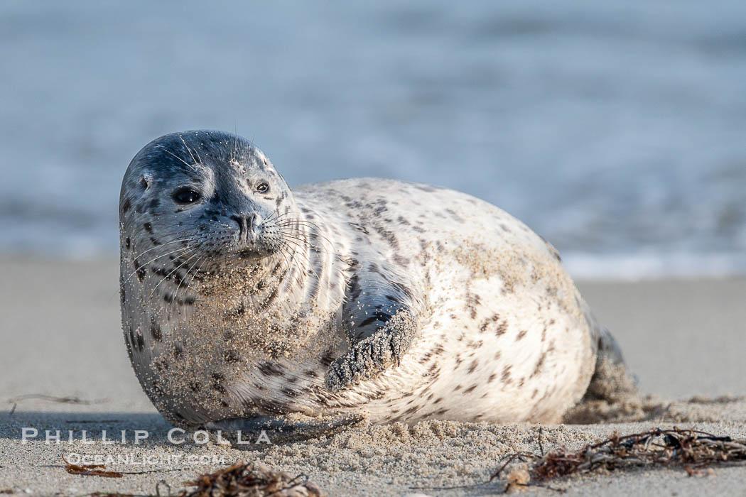 Pacific harbor seal pup. La Jolla, California, USA, Phoca vitulina richardsi, natural history stock photograph, photo id 15762