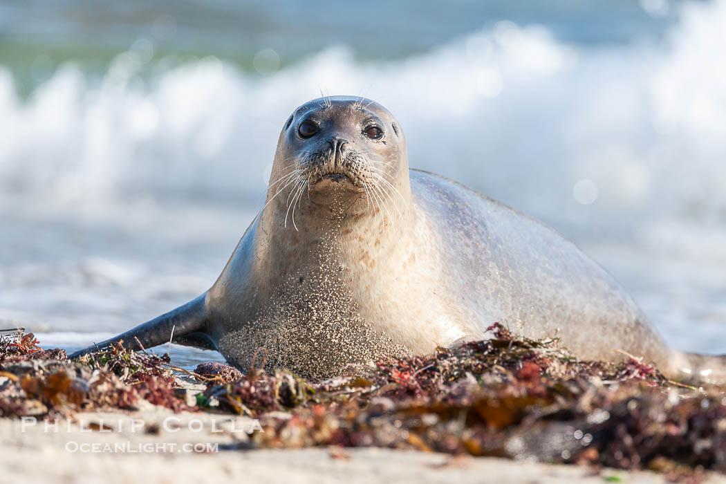 Image 15778, Pacific harbor seal. La Jolla, California, USA, Phoca vitulina richardsi