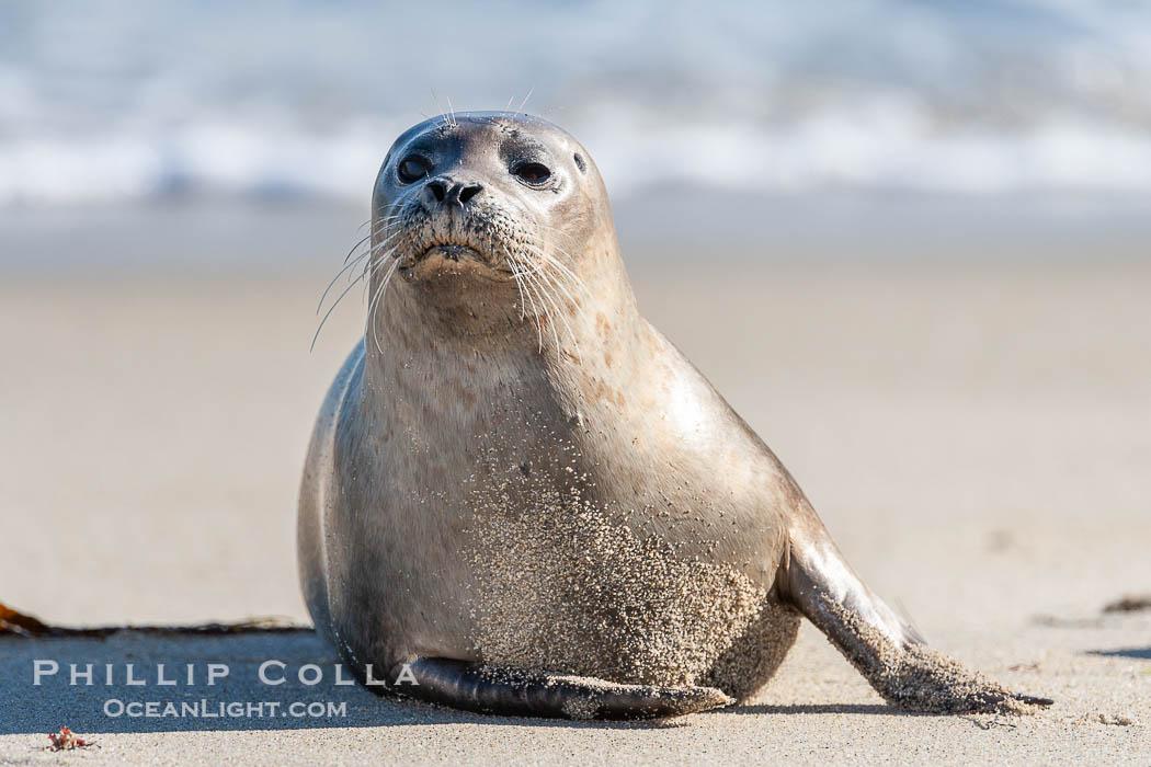 Pacific harbor seal. La Jolla, California, USA, Phoca vitulina richardsi, natural history stock photograph, photo id 15782