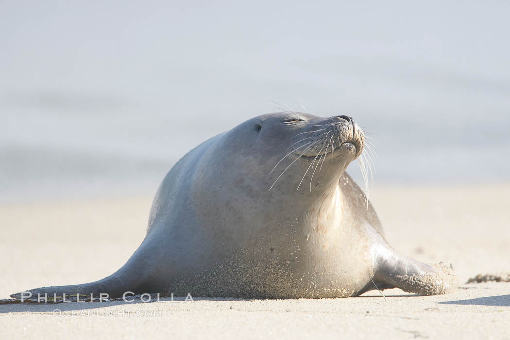 Pacific harbor seal. La Jolla, California, USA, Phoca vitulina richardsi, natural history stock photograph, photo id 15780