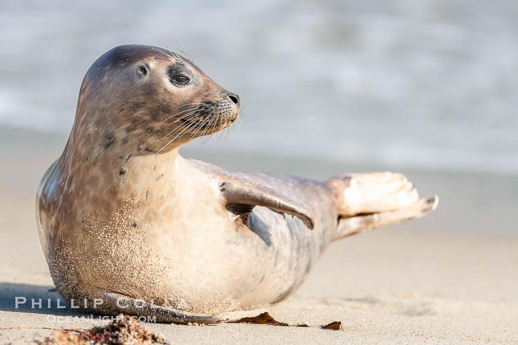 Image 15769, Pacific harbor seal. La Jolla, California, USA, Phoca vitulina richardsi, Phillip Colla, all rights reserved worldwide. Keywords: animal, animalia, california, caniformia, carnivora, carnivore, chordata, creature, harbor seal, la jolla, la jolla seal controversy, la jolla seals childrens pool, mammal, mammalia, marine mammal, nature, ocean, pacific harbor seal, phoca, phoca vitulina richardsi, phocid, phocidae, pinniped, pinnipedia, richardii, richardsi, san diego, seal, usa, vertebrata, vertebrate, vitulina, wildlife.