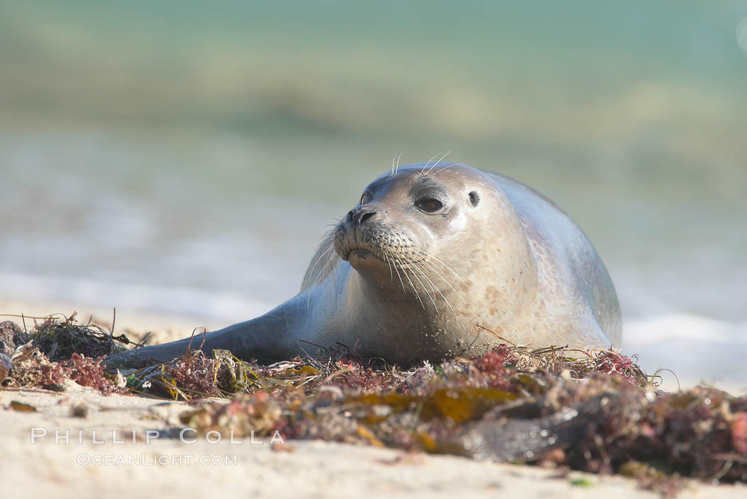 Pacific harbor seal. La Jolla, California, USA, Phoca vitulina richardsi, natural history stock photograph, photo id 15777