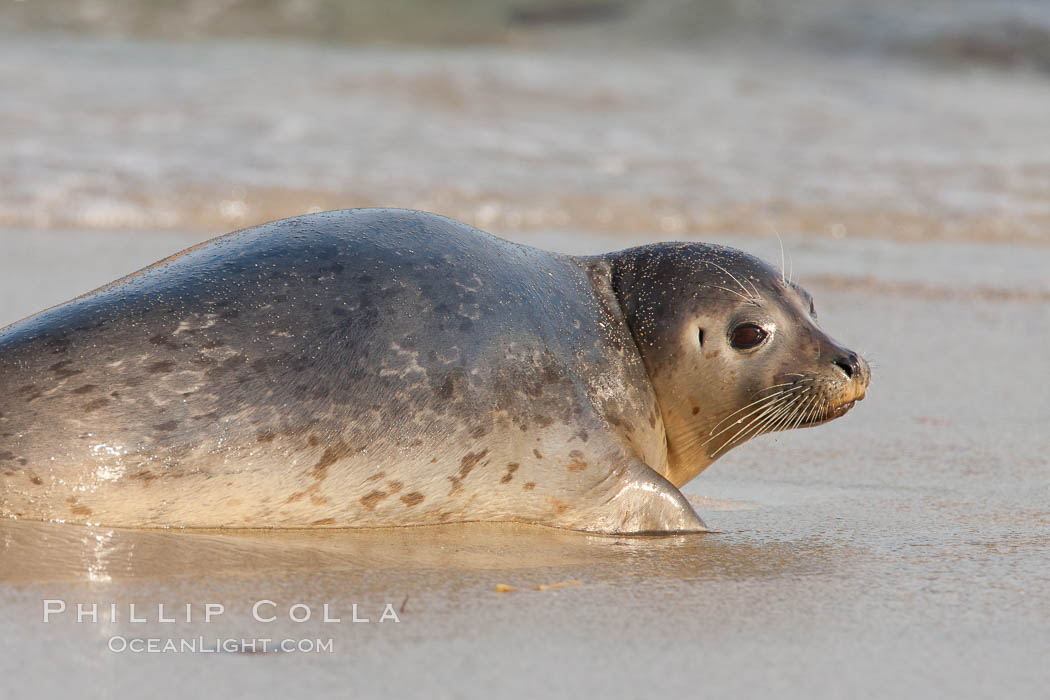 Pacific harbor seal, an sand at the edge of the sea. La Jolla, California, USA, Phoca vitulina richardsi, natural history stock photograph, photo id 26324