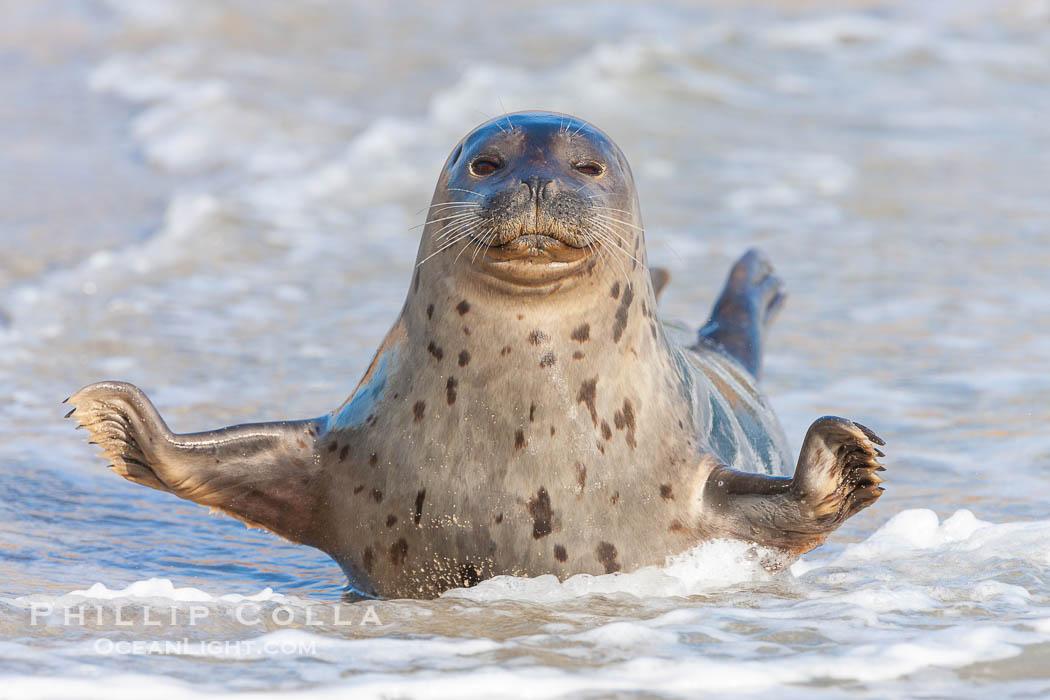 Pacific harbor seal, on sand at the edge of the sea. La Jolla, California, USA, Phoca vitulina richardsi, natural history stock photograph, photo id 26315