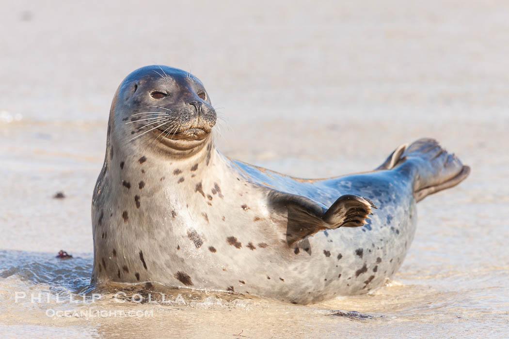 Image 26327, Pacific harbor seal, an sand at the edge of the sea. La Jolla, California, USA, Phoca vitulina richardsi, Phillip Colla, all rights reserved worldwide. Keywords: animalia, caniformia, carnivora, chordata, mammal, mammalia, phoca, phocidae, richardii, vertebrata, vertebrate, vitulina.
