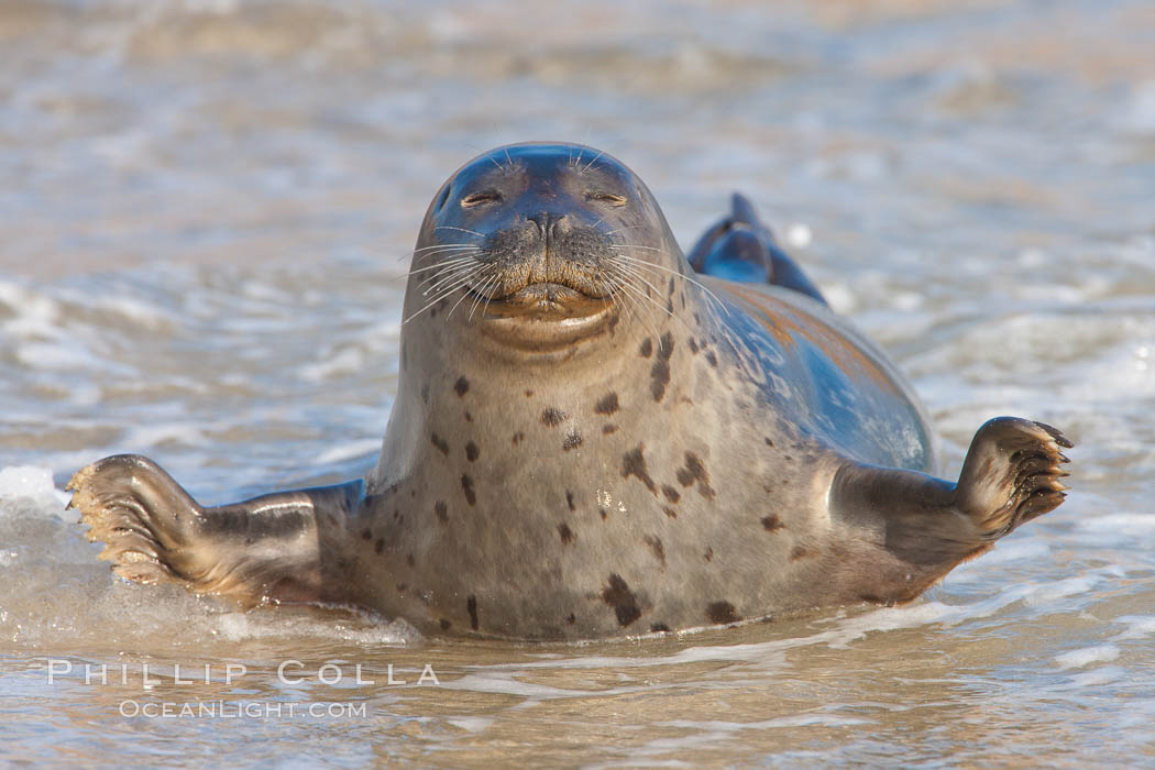 Pacific harbor seal, an sand at the edge of the sea. La Jolla, California, USA, Phoca vitulina richardsi, natural history stock photograph, photo id 26329