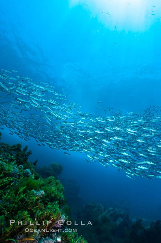 Jack mackerel schooling.  Summer. Guadalupe Island (Isla Guadalupe), Baja California, Mexico, Trachurus symmetricus, natural history stock photograph, photo id 09634