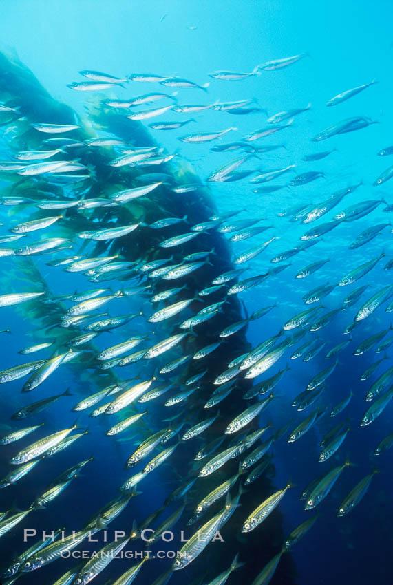 Jack mackerel and kelp. San Clemente Island, California, USA, Trachurus symmetricus, Macrocystis pyrifera, natural history stock photograph, photo id 00380