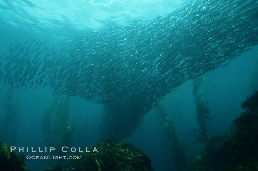 Image 05117, Jack mackerel schooling amid kelp forest. San Clemente Island, California, USA, Trachurus symmetricus, Macrocystis pyrifera, Phillip Colla, all rights reserved worldwide. Keywords: algae, animal, california, california baja california, channel islands, cluster, fish, fish behavior, fishes, forest, giant kelp, group, habitat, indo-pacific, kelp, kelp forest, mackerel, macrocystis, macrocystis pyrifera, marine, marine algae, marine fish, marine plant, nature, ocean, oceans, outdoors, outside, pacific, pacific jack mackerel, pacific ocean, plant, san clemente island, school, schooling, sea, seaweed, teleost fish, trachurus symmetricus, underwater, usa, wildlife.