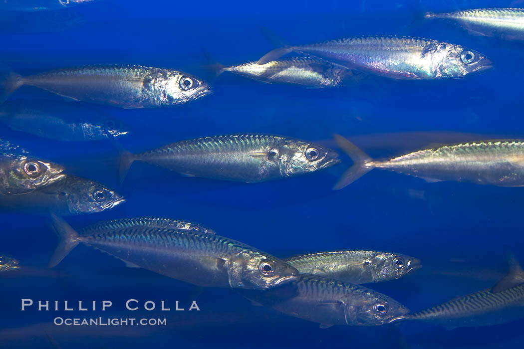Pacific mackerel.  Long exposure shows motion as blur.  Mackerel are some of the fastest fishes in the ocean, with smooth streamlined torpedo-shaped bodies, they can swim hundreds of miles in a year., Scomber japonicus, natural history stock photograph, photo id 14025