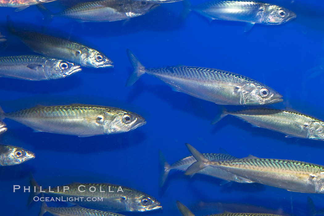 Pacific mackerel.  Long exposure shows motion as blur.  Mackerel are some of the fastest fishes in the ocean, with smooth streamlined torpedo-shaped bodies, they can swim hundreds of miles in a year., Scomber japonicus, natural history stock photograph, photo id 14023