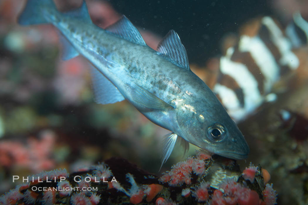 Pacific tomcod., Microgadus proximus, natural history stock photograph, photo id 11819