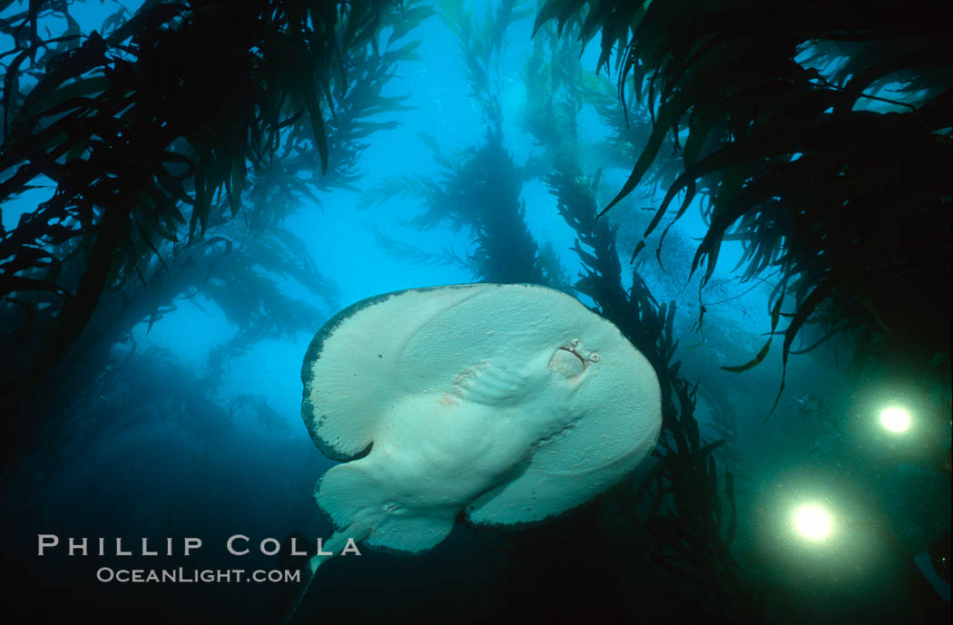 Pacific torpedo ray in kelp forest, filming lights. Santa Rosa Island, California, USA, Torpedo californica, Macrocystis pyrifera, natural history stock photograph, photo id 01009