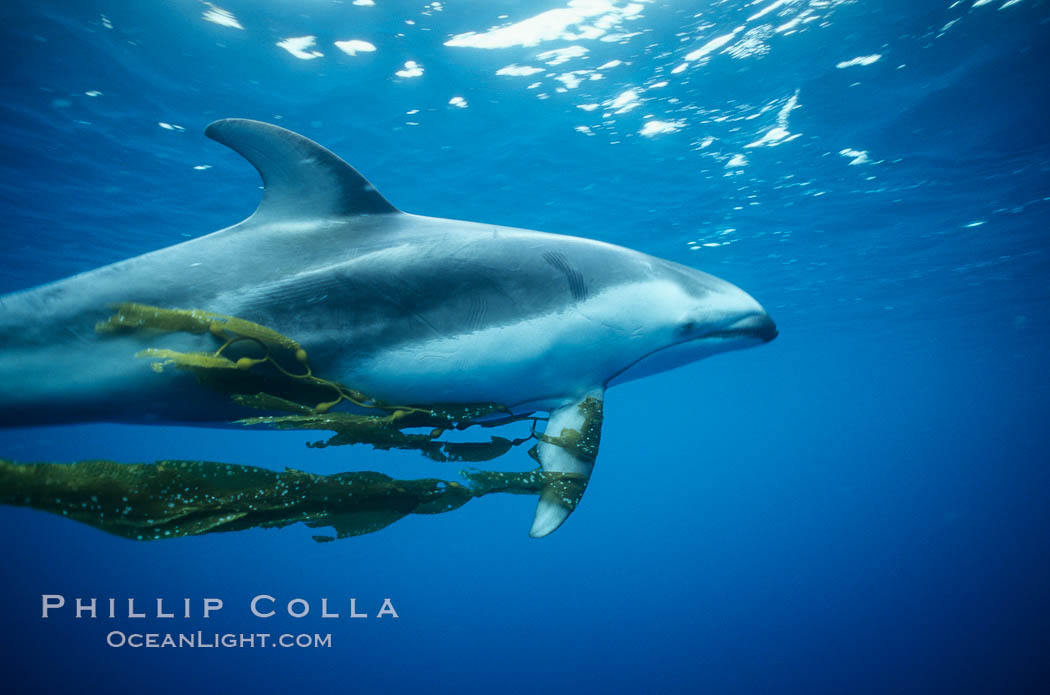 Pacific white sided dolphin carrying drift kelp. San Diego, California, USA, Lagenorhynchus obliquidens, natural history stock photograph, photo id 00043