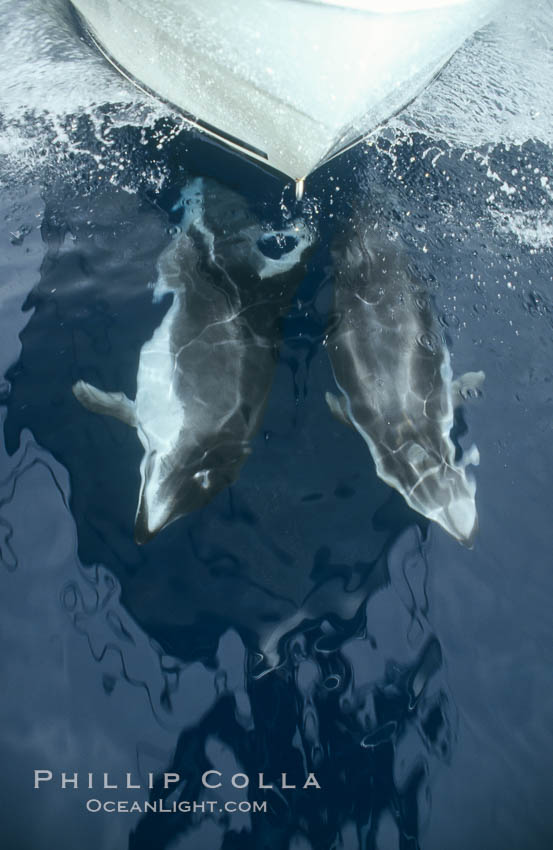 Image 00058, Pacific white sided dolphin. San Diego, California, USA, Lagenorhynchus obliquidens