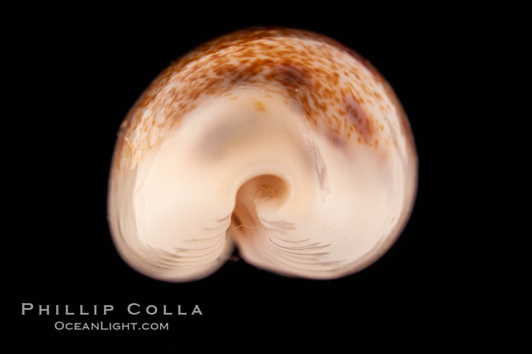 Pale Cowrie., Cypraea pallidula, natural history stock photograph, photo id 08612