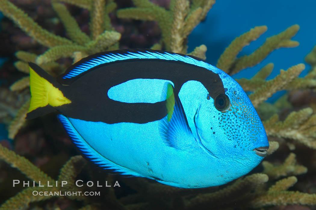 Image 07923, Palette surgeonfish., Paracanthurus hepatus
