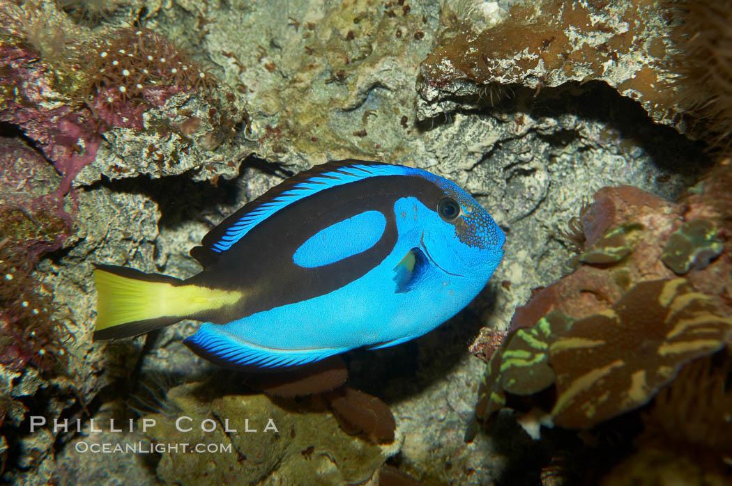 Palette surgeonfish., Paracanthurus hepatus, natural history stock photograph, photo id 11033