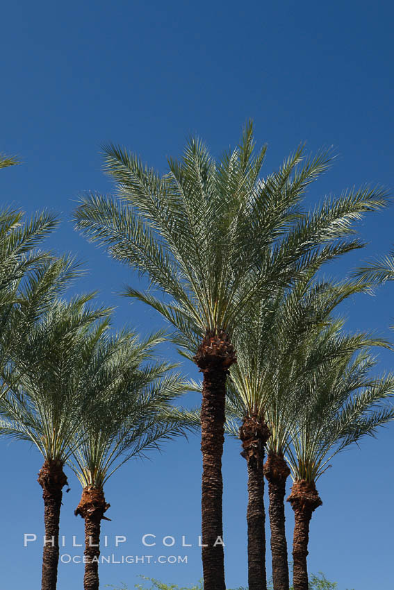 Palm trees and blue sky, downtown Phoenix. Arizona, USA, natural history stock photograph, photo id 23186