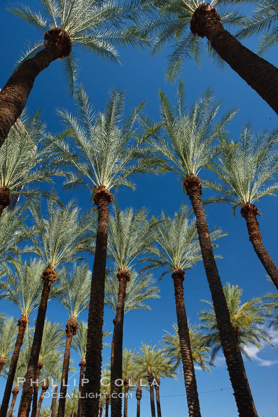 Palm trees and blue sky, downtown Phoenix. Arizona, USA, natural history stock photograph, photo id 23180