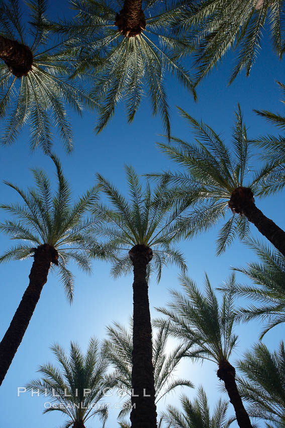 Palm trees and blue sky, downtown Phoenix. Arizona, USA, natural history stock photograph, photo id 23200