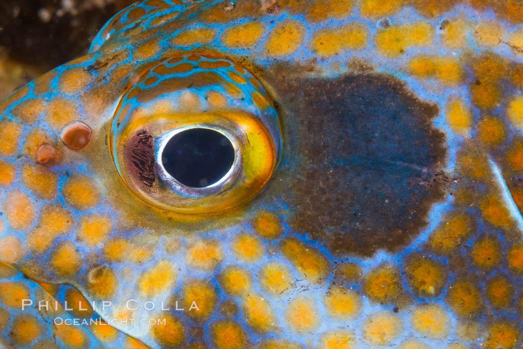 Panama Graysby Eye Detail, Epinephelus panamensis, Sea of Cortez. Isla Cayo, Baja California, Mexico, natural history stock photograph, photo id 33755