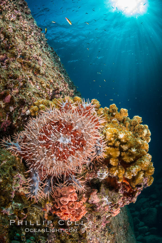 Panamic crown of thorns sea star. Sea of Cortez, Baja California, Mexico, natural history stock photograph, photo id 33825