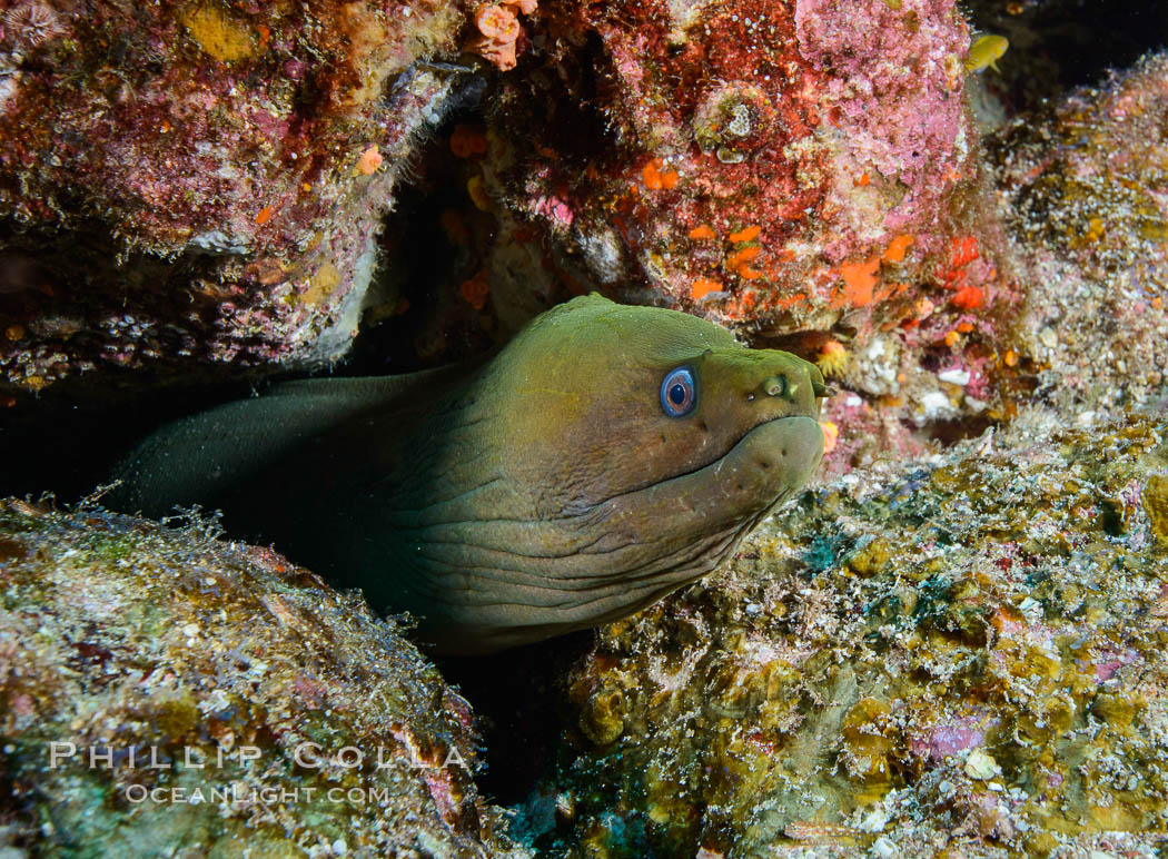 Panamic Green Moray Eel. Los Islotes, Baja California, Mexico, Gymnothorax castaneus, natural history stock photograph, photo id 32580