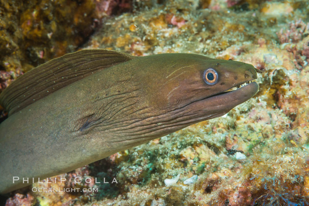 Panamic Green Moray Eel, Sea of Cortez, Baja California, Mexico. Isla Las Animas, natural history stock photograph, photo id 33686