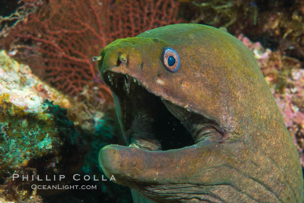 Panamic Green Moray Eel, Sea of Cortez, Baja California, Mexico. Isla San Diego, natural history stock photograph, photo id 33715