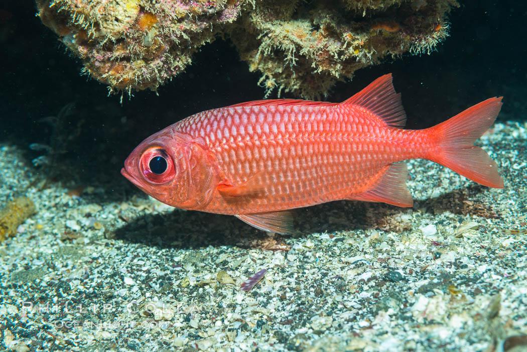 Panamic Soldierfish,  Sea of Cortez. Punta Alta, Baja California, Mexico, natural history stock photograph, photo id 33727